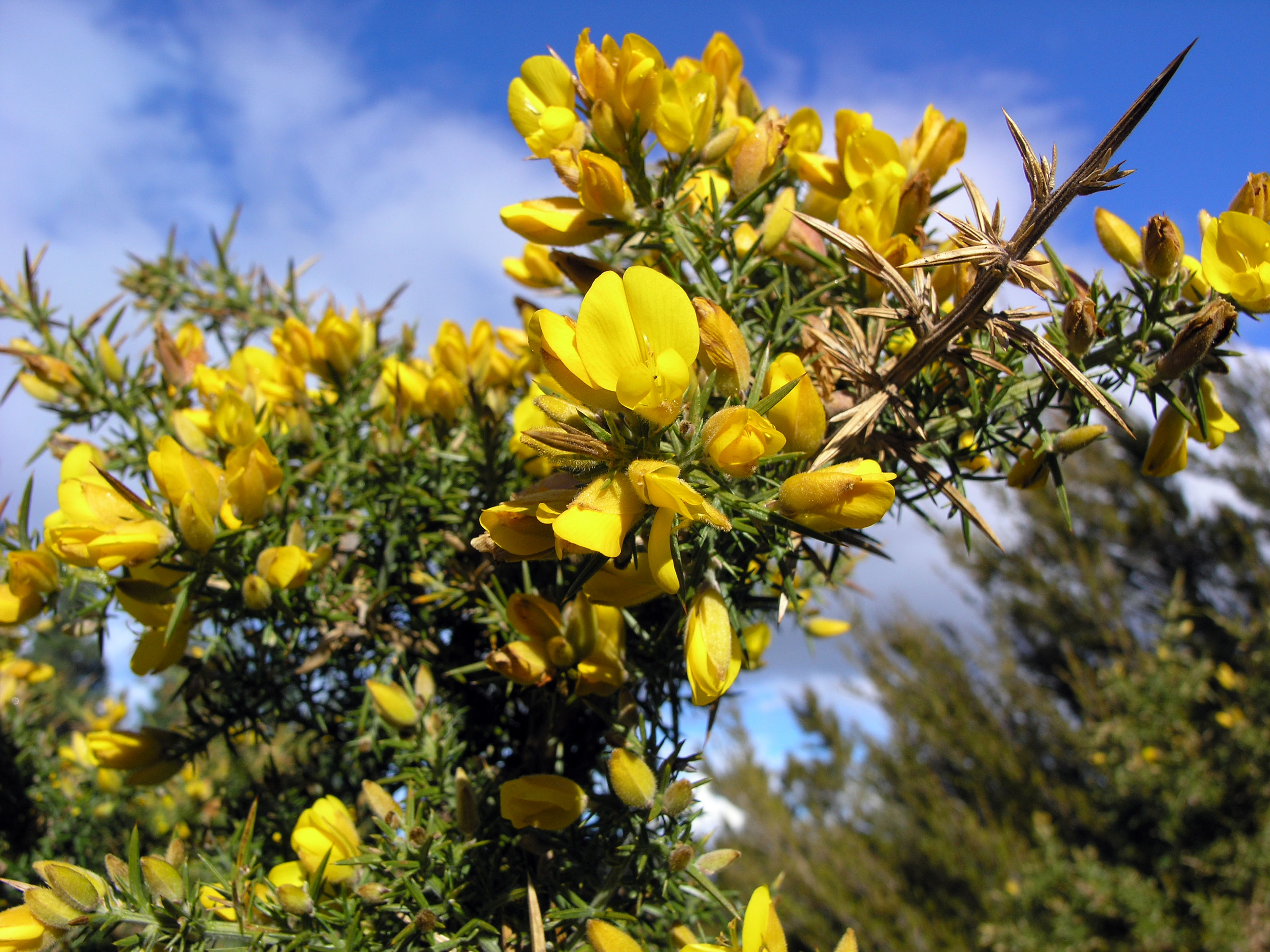 Pond's Place: Gorse bush